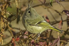 Ruby-crowned Kinglet IMG_4653 (ronzigler) Tags: rubycrowned kinglet bird avian nature birdwatcher sigma 150600mm canon 60d