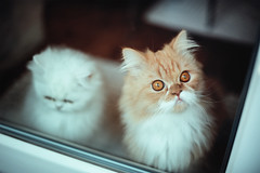 rain at first sight (koolandgang) Tags: rainyday rain 8months reis imal persian chinchilla cat kedi kedici pisipisi mioumiou feline babycat kitten kitty nikond700 nikon50mmf14g 50mm