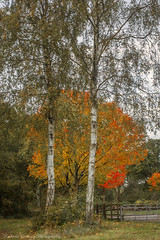 Birches and Maples (Chalky666) Tags: tree trees wood woodland maple acer leaves hampshire a3 painterly bramshott common autumn silverbirch art