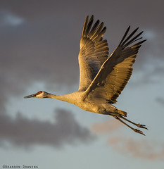 Sandhill Crane (Brandon Downing) Tags: nature nikon new nik colorado closeup light lens animals bird bokeh birding birds beautiful wildlife wings fineart flight feather feathers f