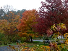 Fall has really arrived. (lovesdahlias 1) Tags: fall foliage nature trees shrubs acers newengland