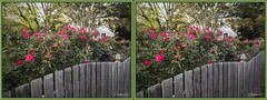 Brian_Roses And Fence 1 LG_111116_X (starg82343) Tags: