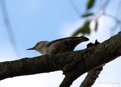 yep, it's a bird (Ahrem Pea Photography) Tags: bird nature jay avian nikon d5200 55300mm nikkor f4556 wv westvirginia treebranch tree branch perch