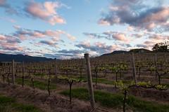 Sunset vineyard (Digital Travelers) Tags: 500px wineyard sunset wine australia hunter valley clouds nsw grapes mountains sky vineyard
