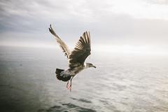 (tyreke.white) Tags: canon 5d mark ii 35 mm 14 bird monterey california ocean sea seaside waves water clouds feathers