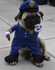 Boo The Policeman Cop Pug (DaPuglet) Tags: pug pugpolice pugs puppy puppies dog dogs pet pets animal animals police policeman costume officer cop halloween