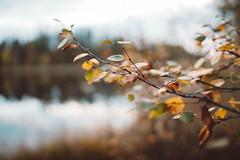 (DrowsyPotato) Tags: sony ilce7rm2 fe 35mm f14 za a7rii a7r2 alpha leaves leaf autumn light