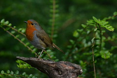 Robin (Orange Dean) Tags: robin bird stockport abneypark nikon d3100