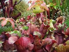 Sarracenia purpurea (Laurent Moulin photographie) Tags: parc de la tete d or plante carnivore carnivorous plant serre greenhouse sarracenia purpurea sarrecenia pourpre