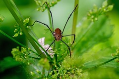 2016 Brown Daddy Long-legs Spider (Phalangium opilio) (DrLensCap) Tags: brown daddy longlegs phalangium opilio spider weber spur trail labagh woods chicago illinois il bug rails to trails cook county forest preserve district preserves robert kramer