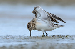 Leirutíta - Baird´s Sandpiper - Calidris bairdii (oskar.sigurmundason) Tags: leirutíta baird´s sandpiper calidris bairdii vagrant wader nikon d7000 sigma 150600 national geographic ngc island iceland birds birding