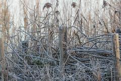 Hidden fence (mennomenno.) Tags: vorst frost fence hek autumn herfst hff verstopt hidden