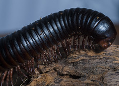Giant Millipede (RedPlanetClaire) Tags: giant millipede