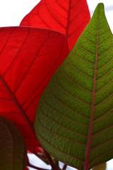 festive foliage (simon edge) Tags: nikon d5100 poinsettia plant macro 40mm nikkor