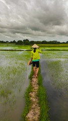 in the rice fields of Vietnam (fotoalex757) Tags: vietnam 2016 nature outdoor rice field alex antonic fotoalex757 fotoalex aleksander