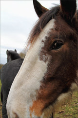 Wiggins (meniscuslens) Tags: horse trust charity buckinghamshire shire drum military