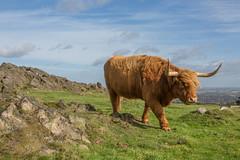 Highland Cow (LKB_Photography) Tags: cow highland leicestershire loughborough canon beaconhill beacon beauty