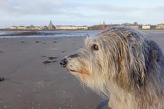 Gentle walk (david_killeen) Tags: lurcher fujix deerhound sighthound saltcoats ayrshire dog