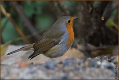 Rougegorge familier ( Erithacus rubecula ) (norbert lefevre) Tags: plumage rougegorge familier