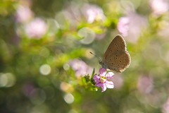 The Lesser Grass Blue on Flower (Robert-Ang) Tags: butterfly lessergrassblue insect wildlife nature bokeh chinesegarden singapore flower leaves sunlight