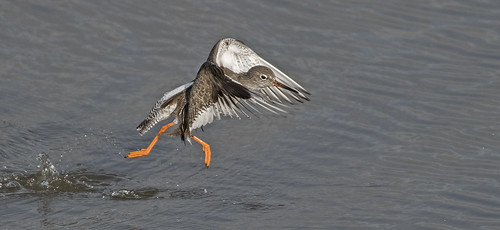 _DSC3925....REDSHANK ON THE RUN