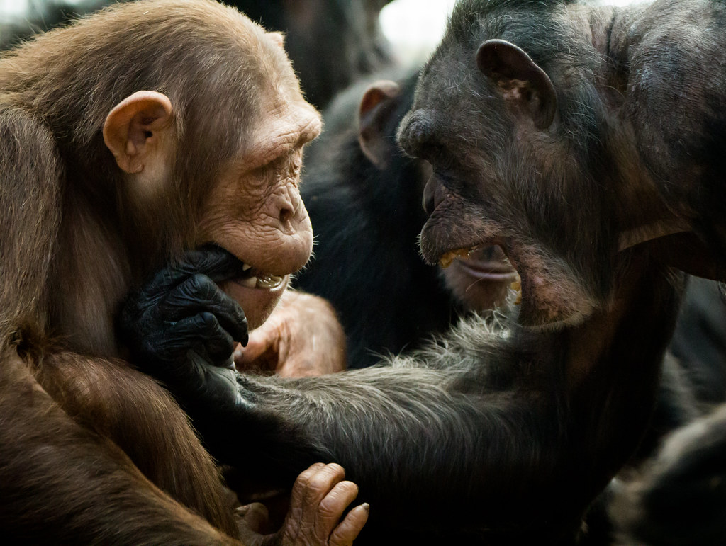 The World's Best Photos of attack and chimp - Flickr Hive Mind
