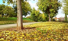And it was all yellow (Frantastic.) Tags: outdoor outdoors park parque rodeo cceres extremadura spain espaa europe europa south sur yellow amarillo autumn fall otoo leaves leaf hoja hojas tree trees rbol rboles landscape paisaje trunk tronco sunny soleado sunlight daylight sky cielo floor