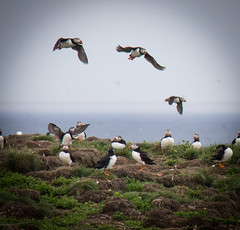Puffins at Elliston square