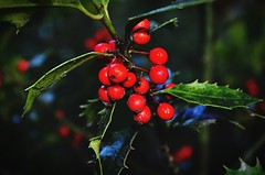 Holly (binaepunkt) Tags: newbie anfnger hamburg makro macro closeup beautyinnature nikonphotography nikon naturephotography natur nature pflanze plants plant holly
