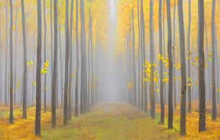 Misty Forest (Boardman Tree Farm, OR)
