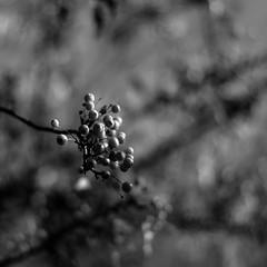 Tree Berries 002 (noahbw) Tags: d5000 dof nikon abstract autumn berries blackwhite blackandwhite blur bokeh branches bw depthoffield forest monochrome natural noahbw square trees woods