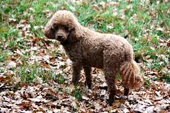 Blending In (Donna JW) Tags: picmonkey camouflage dog poodle pet miniaturepoodle redpoodle leaves autumnalcolour