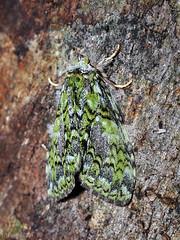 Somera virens, Notodontidae Dicranurinae (Green Baron Pro) Tags: 200902 frasershill moth lep jelaibungalow notodontidae malaysia