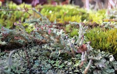 #Moss #mushrooms #lichen #lichens #green #mushroom #dew #drops #droplets #sunset #shining #through #nature #growing #wild #forest #trees #stump #mosses #mossy #mikey #Mike #Liebler #covering #covered #Connecticut #details #leaves #leave #fallen #woods (mikeliebler222) Tags: folioselichens moss mushrooms lichen lichens green mushroom dew drops droplets sunset shining through nature growing wild forest trees stump mosses mossy mikey mike liebler covering covered connecticut details leaves leave fallen woods