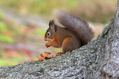 Red Squirrel (Ally.Kemp) Tags: red squirrel squirrels blackisle scottish wildlife wild