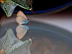 african grass blue (tdwrsa) Tags: ef100mmf28macrousm canoneos70d africangrassblue zizeeriaknysna butterfly refelction