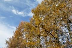 Alerces dorados (Begoa Fernndez) Tags: alerce larch dorado golden cielo sky zerua blue azul urdina otoo autumn udazkena gipuzkoa euskalherria basquecountry forest bosque basoa