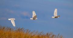 Snowy owl flight - New York State (superpugger) Tags: owl owls snowyowl irruption snowyowls migration newyorkstatewildlife arcticwildlife buboscandiacus
