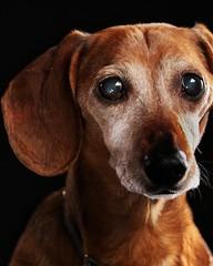 337/366: Another one of Buddy the Dog #365dayphotochallenge #365project #366days #vancouver #bc #canada #vancitydogs #buddythedog #vancity #vancitybuzz #profile #petsofig #petphotography #petportrait #dogportrait #schoolcreative #studio #photographer #van (tguerino123) Tags: dogportrait petsofig buddythedog vancitybuzz 366days petphotography studio canada vancouver canon profile photography vancouverdogs potd petportrait 365dayphotochallenge vancouverphotographer schoolcreative vancitydogs photographer 365project vancity photooftheday bc
