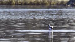Petit Garrot (yveshebert) Tags: birds oiseaux oiseauxduquébec outaouais ottawariver parcnationaldeplaisance plaisance17 plongeur