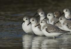 Sanderlings & Dunlins (Jerry Ting) Tags: crabcove crownmemorialbeach alameda california sanderling dunlin