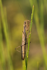 Mante Brune (regisfiacre) Tags: mante brune religieuse praying mantis religiosa insecte insect bugs brown meadow prairie canon macro nature 100mm