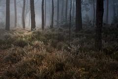 Winter feeling (hardy-gjK) Tags: forest wald fort autumn automne herbst light licht landschaft landscape paysag nikon hardy fog e brouillard nebel arbres trees bume flower erika fleur bruyre fleurs greatphotographers