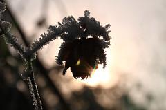 frozen (Erich Hochstger) Tags: gefroren frozen frost eiskristalle icecrystals eis ice pflanze plant makro macro nahaufnahme closeup gegenlicht backlight natur nature imfreien outdoor bokeh