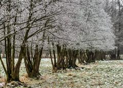 Rübke - Winterlandschaft 3 (Pana53) Tags: photographedbypana53 pana53 naturfoto naturundlandschaftsfotografie naturfotografie jahreszeit wintertime winter winterlandschaft winterlandscape rübke bäume pflanzen natur wiesen felder nikon nikond810 raureif eis frost kälte baumreihe outdoor