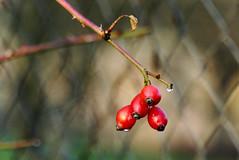 (Vitatrix) Tags: hagebutten pflanzen frchte herbst zaun