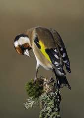 Goldfinch. (anthonynixon17) Tags: art avian
