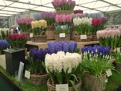 Hyacinth, 100th Chelsea Flower Show, London @ 25 May 2013 (Part 1 of 3) (Kam Hong Leung 14) Tags: show pink blue red orange white plant orchid flower green london nature ecology yellow fauna garden insect gold golden spring flora chelsea lily purple conservation exhibition bee lilac tulip 100th environment pollen botany horticulture hyacinth gardener biodiversity rhs centenary chelseaflowershow pollinator kamhongleung magenda royalhorticulturesociety leungkamhong beatriceleung