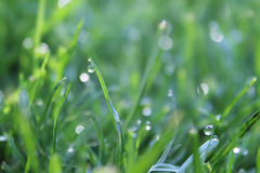 112/365: Dew on grass (DavidDMuir) Tags: oneaday grass dew photoaday pictureaday project365 project365112 2013inphotos 10may13