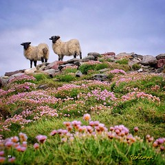 What ewe looking at? (Zonicfoto) Tags: pink flowers ireland sea sky grass landscape sheep sony lambs mayo westcoast hdr achill pinkflowers comayo cloughmore sonydlsr sonya350 sonydlsra350 instagram zonicscape uploaded:by=flickrmobile flickriosapp:filter=nofilter